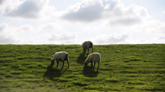 Sheep on dyke - stock footage
