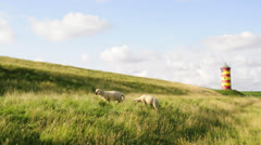 Sheeps at the lighthouse Pilsum - stock footage