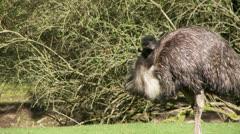 Emu Stock Footage