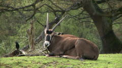 Oryx Stock Footage