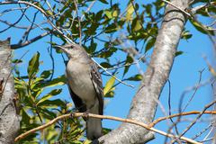 Northern Mockingbird Perched High on a Sunny Winter Day Stock Photos