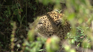 LEOPARD CAMOUFLAGE Stock Footage
