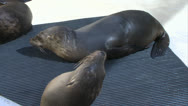 Sick Baby Sea Lion Pup Medium Stock Footage