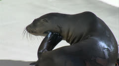 Scratching Sea Lion Pup T - stock footage
