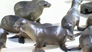 Sea Lion Pup Eating Fish M Stock Footage