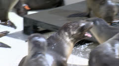 Sea Lion Pups Fighting T Stock Footage