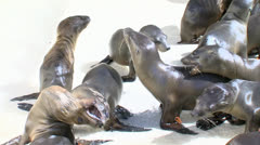 Sea Lion Pups Eat:Fight Stock Footage