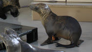 Sea Lion Pup Tries to Get Fish Stock Footage