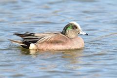 Male american wigeon (anas americana) Stock Photos