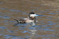 ruddy duck (oxyura jamaicensis) - stock photo