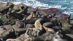 Sea Lion w Pup, Nats - stock footage