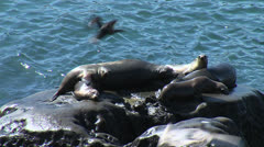 Sea Lions all ages & birds - stock footage