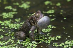 Male american toad (bufo americanus) Stock Photos