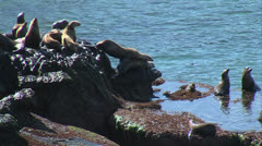 Sea Lions Stumble Over Each Other - stock footage