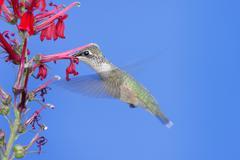 Ruby-throated hummingbird (archilochus colubris) Stock Photos
