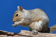 gray squirrel on a log - stock photo