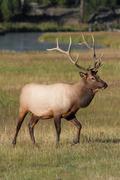 Majestic bull elk Stock Photos