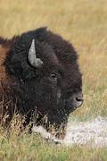 American bison (buffalo) close-up Stock Photos