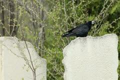 Black Crow On Tombstone Stock Footage