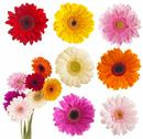 Stock Photo of Flower of gerber daisy collection