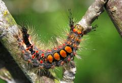 Rusty tussock moth - stock photo