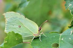 Brimstone butterfly on birch leaves Stock Photos