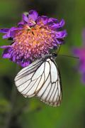 Black-veined white Stock Photos