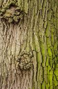 texture of a tree bark with green moss - stock photo
