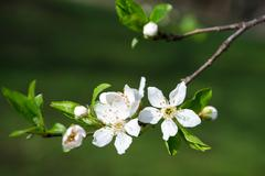 Branch of white blooming buds on a dark background Stock Photos