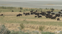 Bison - stock footage