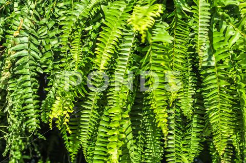 Stock photo of beautyful leaves of fern (cyathea lepifera)