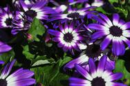 Vibrant bright purple with white daisy flowers Stock Photos
