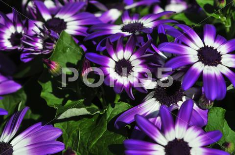 Stock photo of vibrant bright purple with white daisy flowers