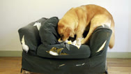 Stock Video Footage of Dog demolishes chair