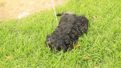Shih Tzu black dog small hairy dog 2 Stock Footage