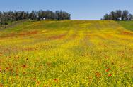 Stock Photo of cereal and poppies meadow in sunny day