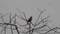 Little bird, Corn bunting, Emberiza (Miliaria) calandra Stock Footage