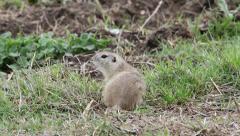 European ground squirrel, Spermophilus citellus Stock Footage