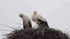 White storks, Ciconia ciconia Stock Footage