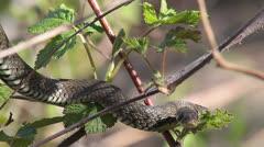 Grass Snake, Ringed Snake, Natrix natrix Stock Footage