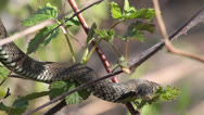 Stock Video Footage of Grass Snake, Ringed Snake, Natrix natrix