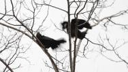 Stock Video Footage of Two Rooks in a tree, Corvus frugilegus