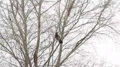 Varis puussa, Corvus corone cornix Arkistovideo