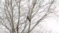 Stock Video Footage of Hooded Crow in tree, Corvus corone cornix