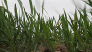 Young wheat crop Stock Footage