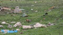 Hoopoe searching for food in trash zone, Upupa epops Stock Footage