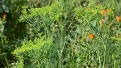 Closeup natural dill fennel plant move wind rural garden Stock Footage