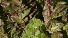 Fresh healthy natural salad leaves move wind grow rural garden Stock Footage