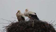 White storks on nest, Ciconia ciconia Stock Footage