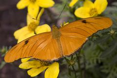 Bright orange julia moth on yellow flowers Stock Photos